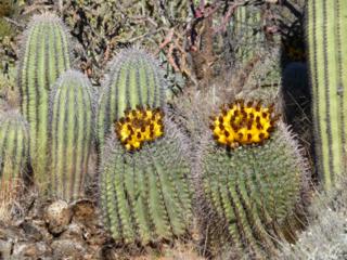 AZcacti